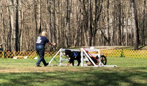 2018 Bernese Mountain Dog Club of America Specialty Draft Test for Chevy