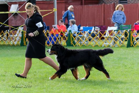 2018 Bernese Mountain Dog Club of America Specialty Third Place Versatility for Chevy