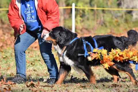 2018 Bernese Mountain Dog Club of Hampton Roads Open Draft Trial for Chevy