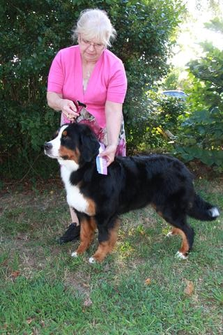 2015 Chesapeake Dog Fanciers Dog Show: First Place: 9–12 Month Class