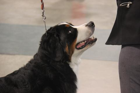2015 Mid Atlantic Kennel Club Dog Show:  In Ring