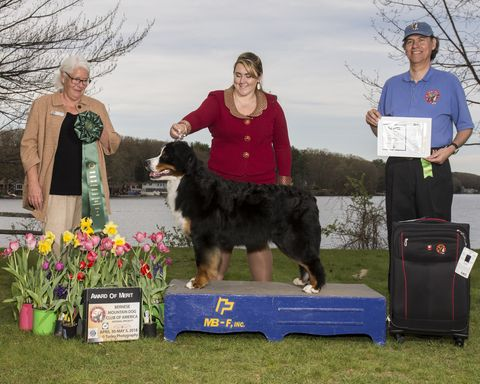 2018 Bernese Mountain Dog Club of America Specialty Award of Merit for Destiny