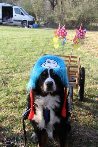 2018 Draft Dog Test in Lovettsville, Virginia (1)
