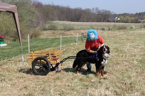2018 Draft Dog Test in Lovettsville, Virginia (2)